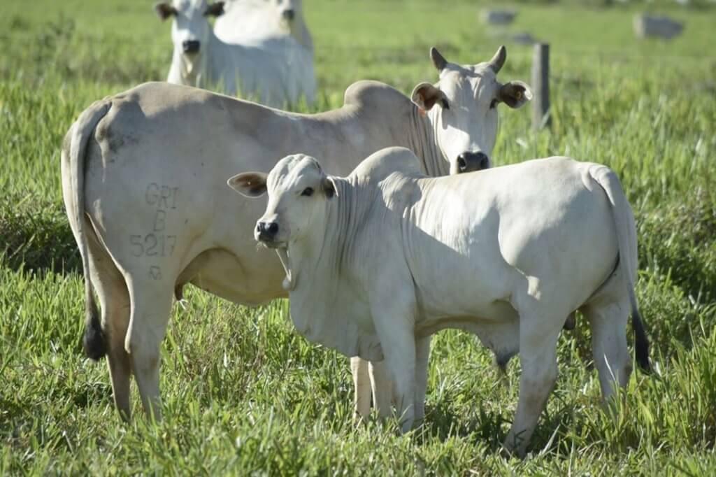 Reprodução de gado de corte: a escolha da vaca