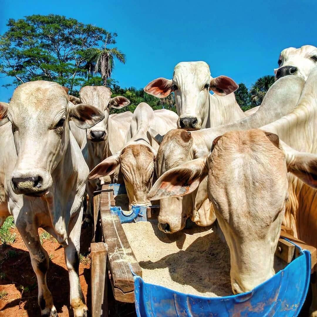 ureia para bovinos