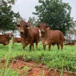 Castrar ou não bovinos machos? Confira as vantagens