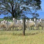 Farelo de milho para gado: posso misturar com suplementos?