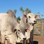 Silagem de girassol para bovinos