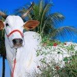 Sulfato de amônia para bovinos: como oferecer