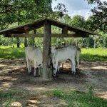 Tratamento de intoxicação por ureia em bovinos