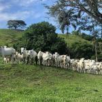 Vacina de gado: saiba tudo sobre a aplicação