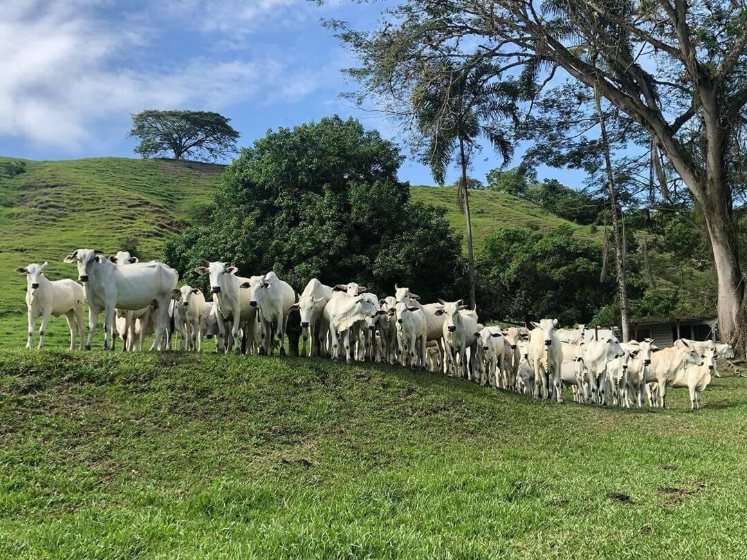 vacina de gado