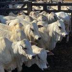 Ração para engorda de bovinos a pasto