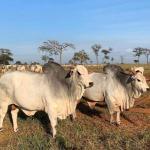 Confinamento a pasto: dúvidas sobre a estratégia