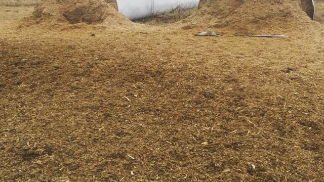 Produção de silagem para o gado
