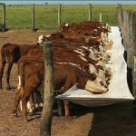 Silagem de grão úmido é boa opção para os bovinos?
