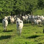 Vaca gorda: qual a alimentação ideal?