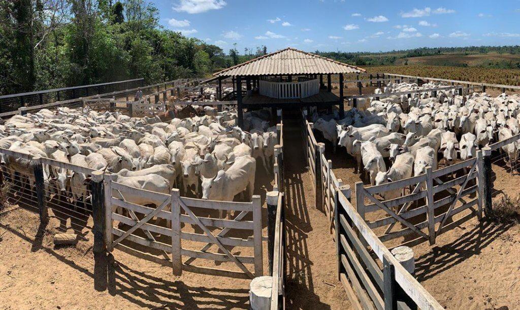 vacinação de bovinos