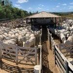 Vacinação de bovinos: você sabe o que é necessário?