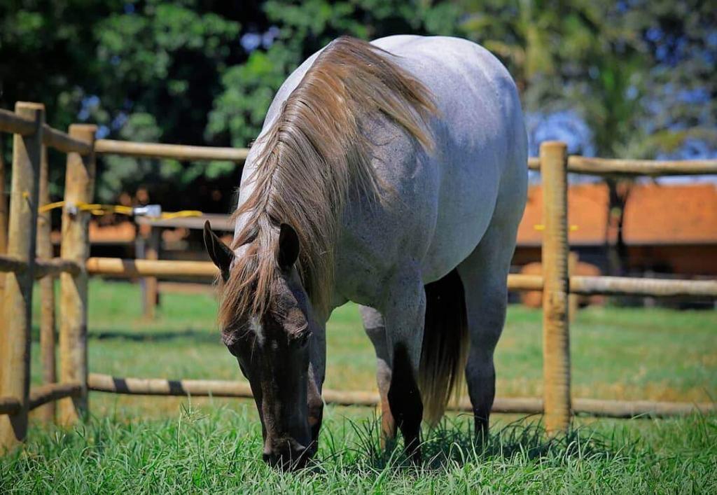 capim para cavalo