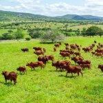 Qual a melhor pastagem de verão para bovinos?