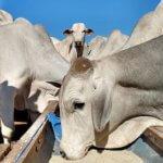 Como saber quando o sal é mineral para bovinos