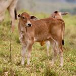 Como fazer melhor adaptação dos vitelos?