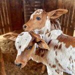 Carbúnculo no gado: perguntas mais frequentes