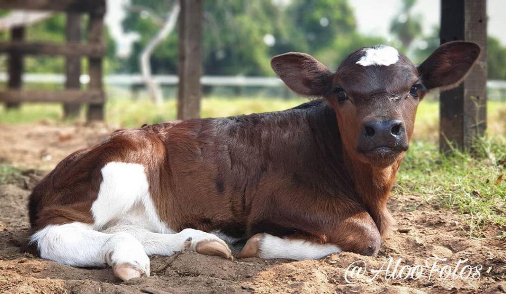 coccidiose bovina