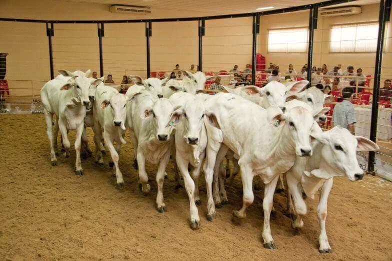 leilão de gado