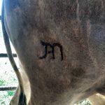 Como fazer a marcação de gado de forma correta?