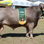 Quais as principais características do pardo suiço leiteiro?