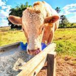 Por que o boi lambe sal? Confira o tipo ideal para seu gado