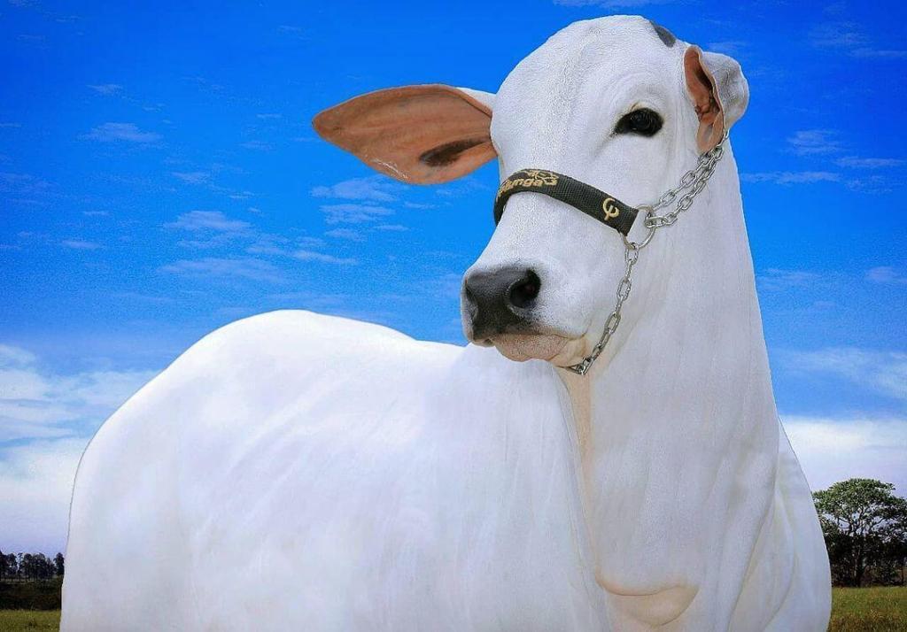 ceratoconjuntivite bovina
