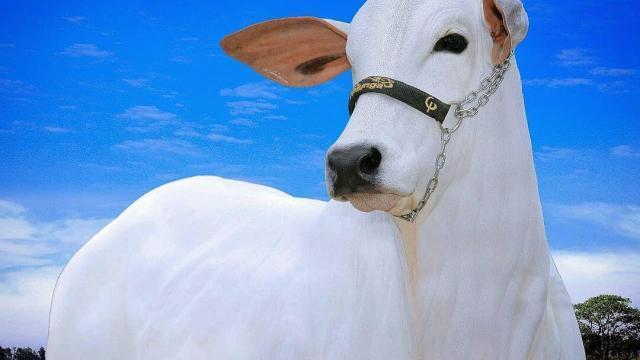 Ceratoconjuntivite bovina pode causar cegueira?