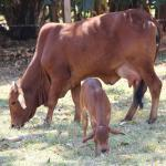 Quais os benefícios do colostro bovino?