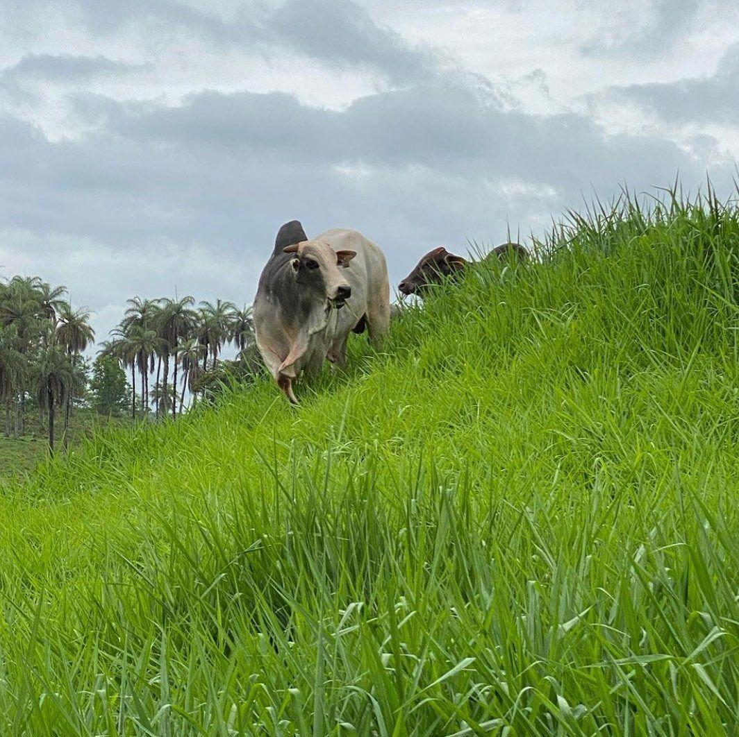 esterco de gado