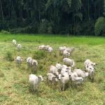 Posso evitar a leptospirose bovina na minha propriedade?