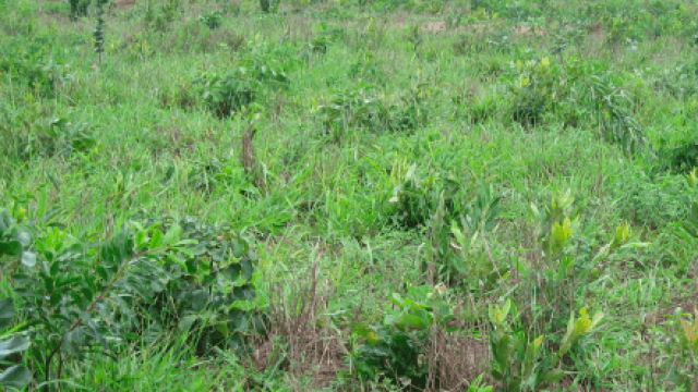 Quais são as plantas invasoras de pasto?