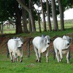 Como engordar bovinos de corte na propriedade?