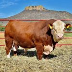 Como criar cabeça de gado com lucro no Brasil