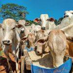 Cocho de tambor: investimento de baixo custo na pecuária