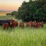Como negociar compra e venda de gado
