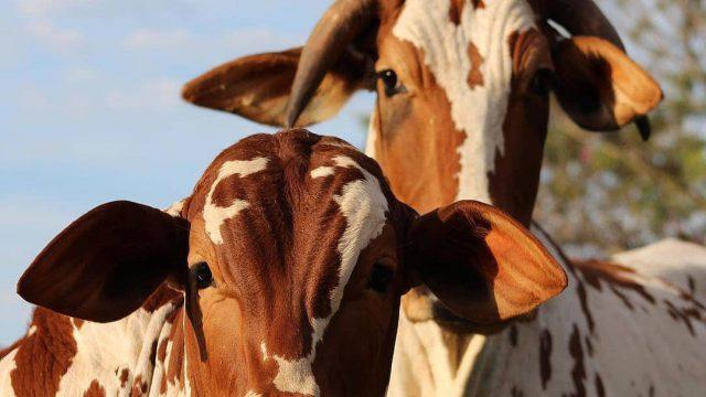 Crédito rural para compra de gado vale a pena?