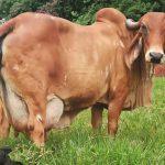 Qual a produtividade do gado gir leiteiro?