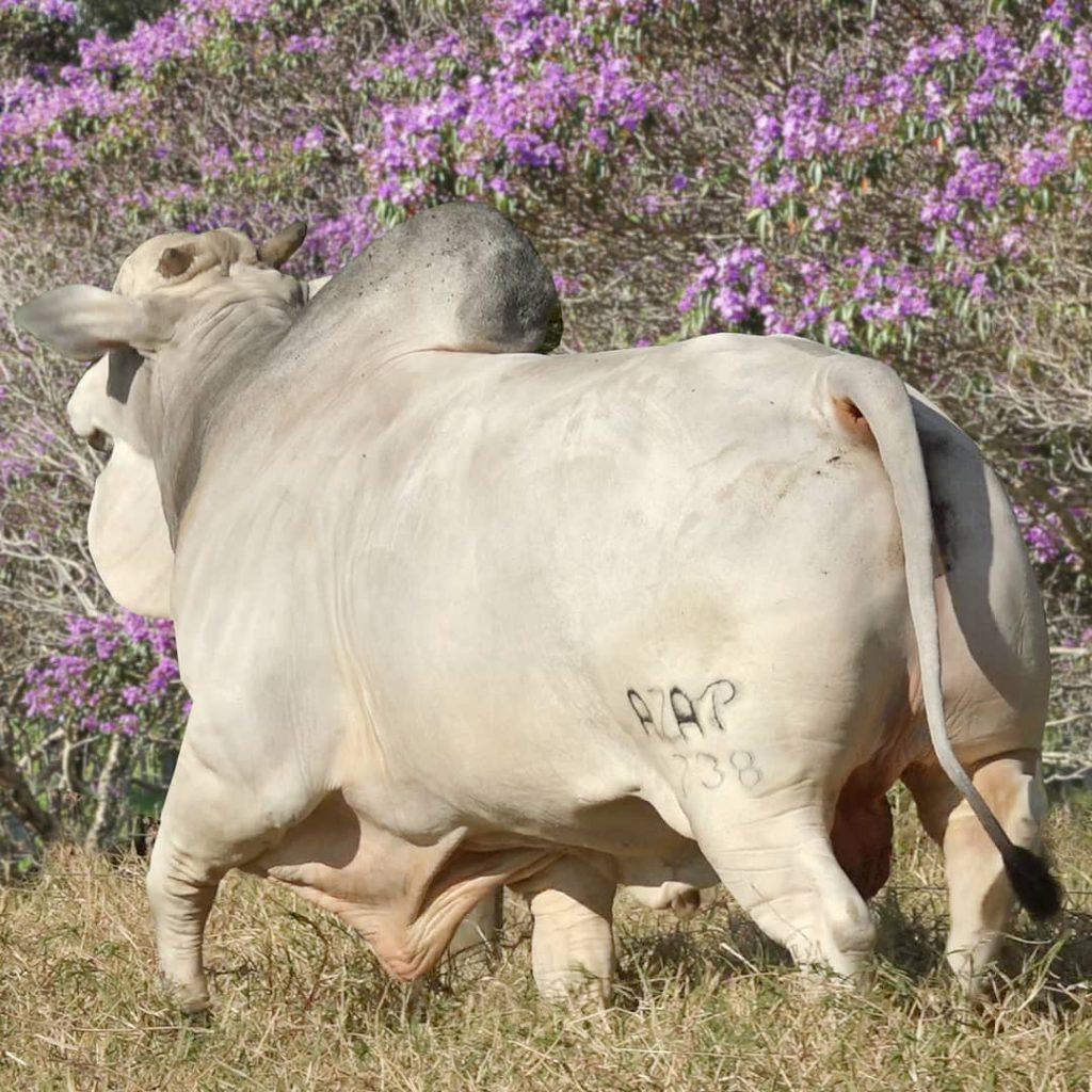 mercado do boi gordo ração
