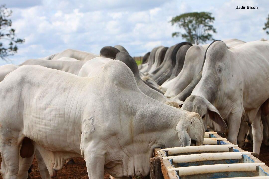 mercado do boi gordo