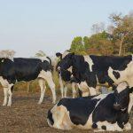 Quantos litros de leite uma vaca produz por dia?