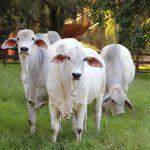 Raças de gado de corte com mais desempenho