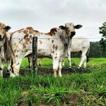 Seguro para gado cobre furto e roubo de animais?