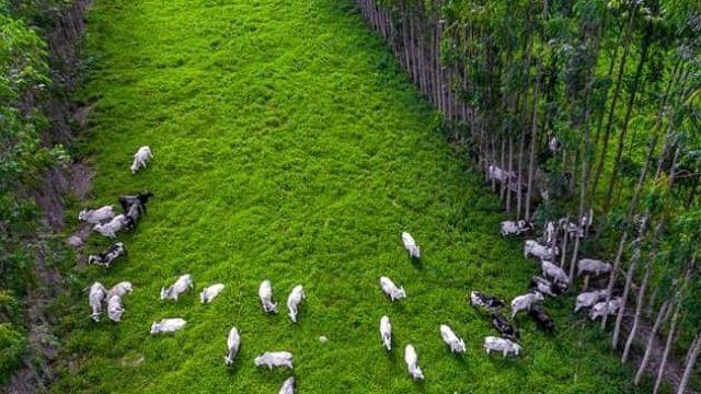 Sistema silvipastoril traz vantagens para a pecuária?