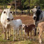 Quais tipos de gado existem para produção?