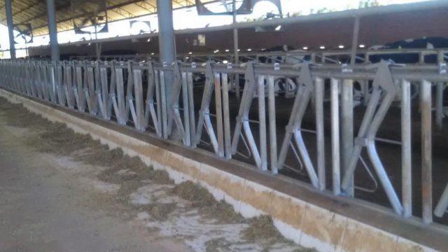 Uso de canzil na pecuária de leite favorece a alimentação?