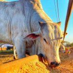Como calcular sal mineral para gado?