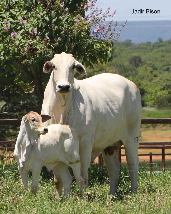 embriões bovinos