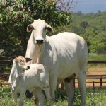 Como planejar a monta natural de bovinos?