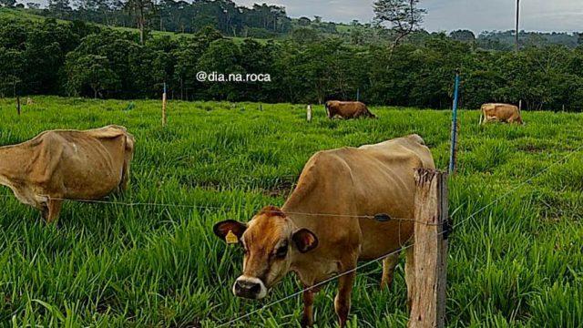 Piquetes rotacionados para gado de corte